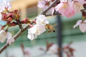 ミツバチも春の香りに誘われて…