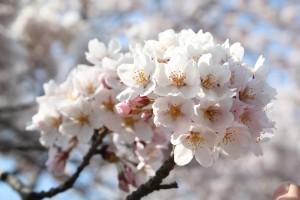 もこもことした満開の桜