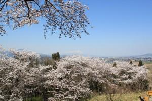 先日、城山公園にて。岩手山と桜